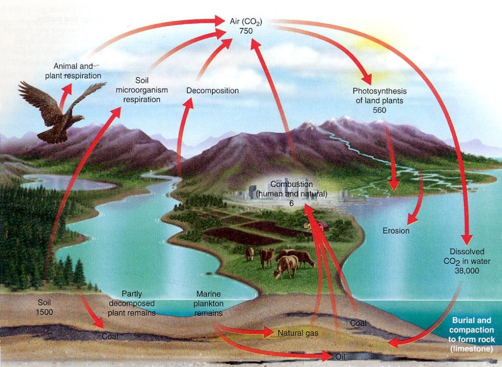 carbon cycle essay geocosmic rex you will note that the amount of carbon dioxide in the atmosphere is given as 750 gigatons you will also note that 560 gigatons are consumed in the process
